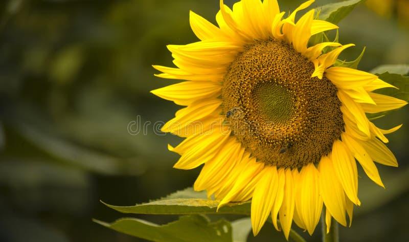 Dos abejas en el polen se arrastran sobre la flor de un girasol imagenes de archivo