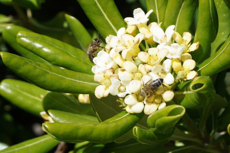 Dos abejas recolectan la miel del polen en las flores blancas del arbusto del tobira de Pittosporum de los flores foto de archivo libre de regalías