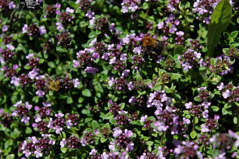 Dos abejorros hermosos grandes en las pequeñas flores Rusia imagen de archivo libre de regalías