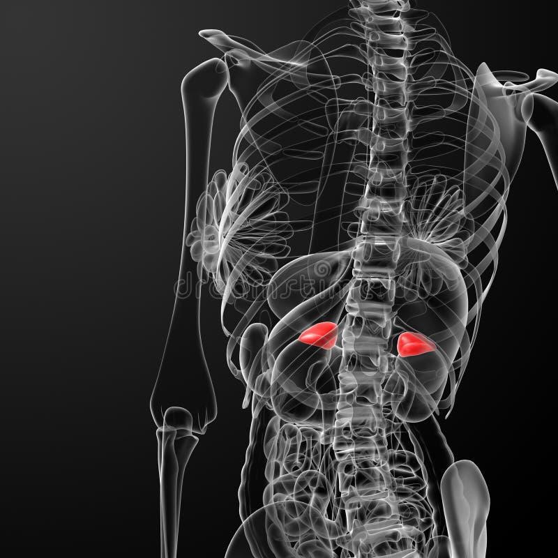 Dos adrénal femelle de rayon X d'anatomie illustration libre de droits