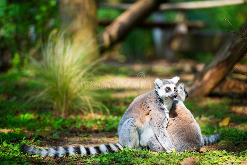 Dos anillo-ataron los lémures abrazados juntos foto de archivo