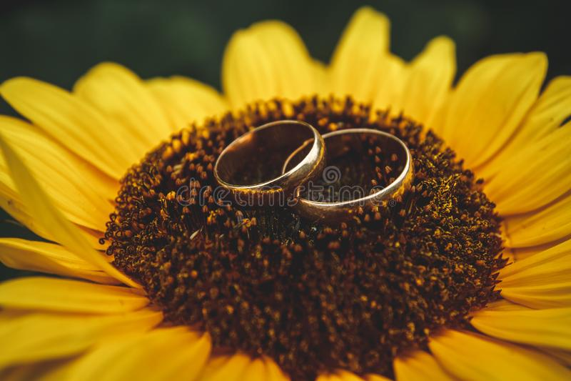 Dos anillos de bodas de oro mienten en el girasol grande con el fondo del cielo azul imagen de archivo