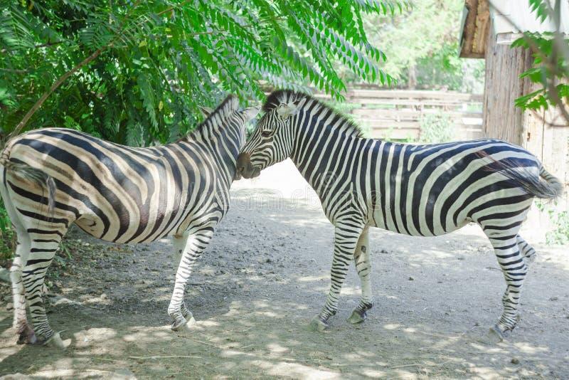 Dos animales de la cebra foto de archivo libre de regalías