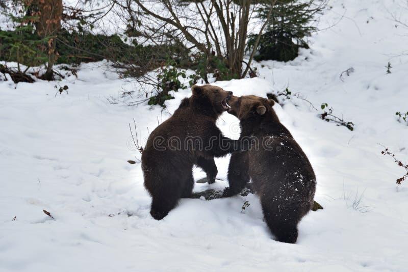 Dos arctos del Ursus de los osos marrones fotografía de archivo