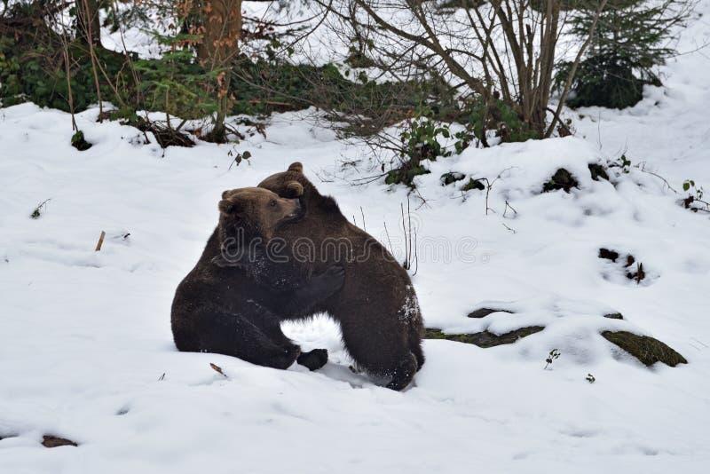 Dos arctos del Ursus de los osos marrones fotos de archivo