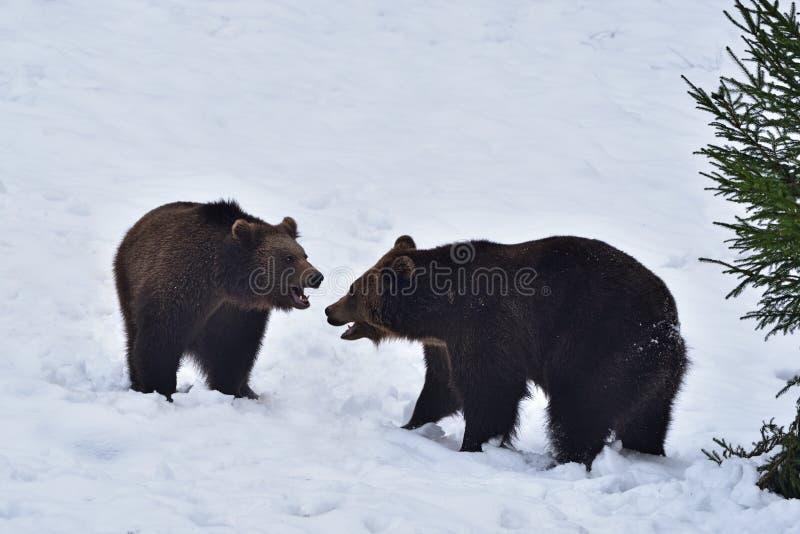 Dos arctos del Ursus de los osos marrones fotografía de archivo libre de regalías