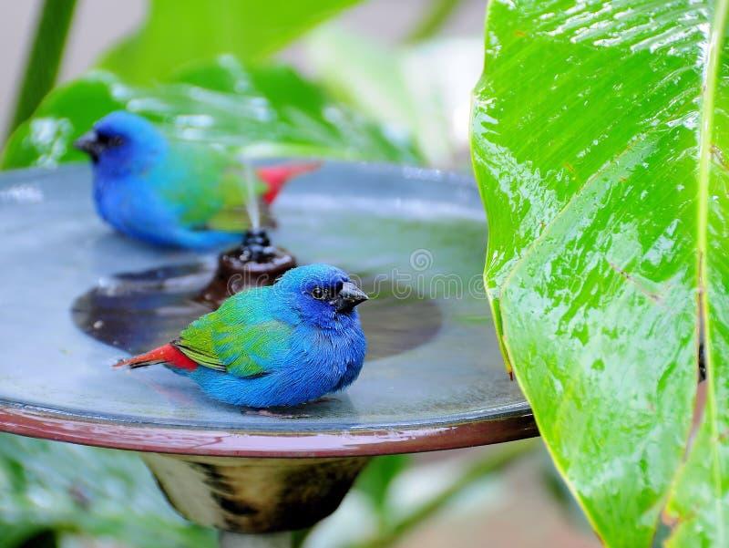 Dos Azul-hicieron frente a los pájaros de Parrotfinch imagenes de archivo