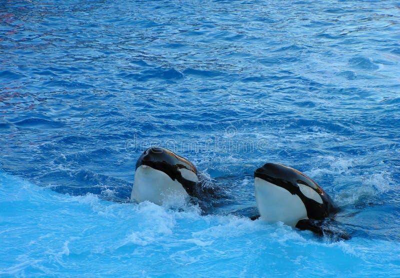 Dos ballenas de asesino imágenes de archivo libres de regalías