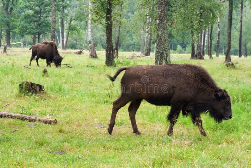 Dos bisontes en el bosque del verano fotografía de archivo libre de regalías