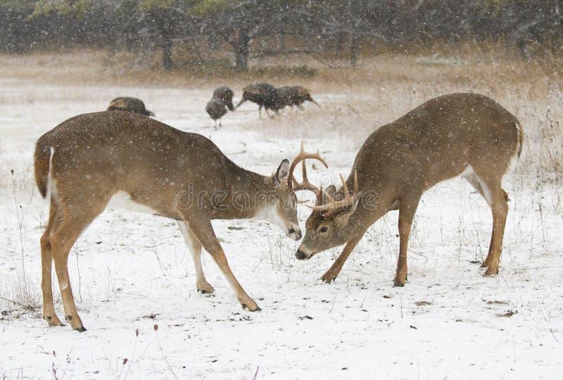 Dos blanco-ataron los dólares de los ciervos que se luchaban en un día nevoso foto de archivo libre de regalías