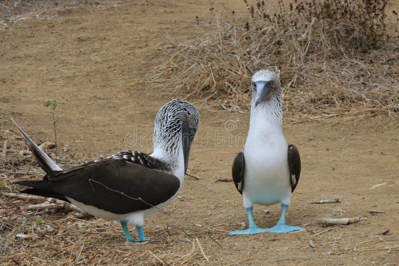 Dos bobos con base azules, nebouxii del Sula, colocándose en un camino arenoso fotos de archivo