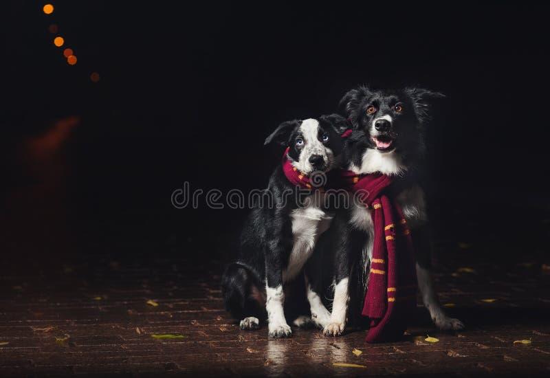 Dos borderes collie de los perros fotos de archivo libres de regalías