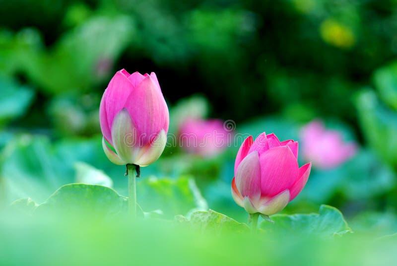 Dos brotes de flor de loto fotografía de archivo