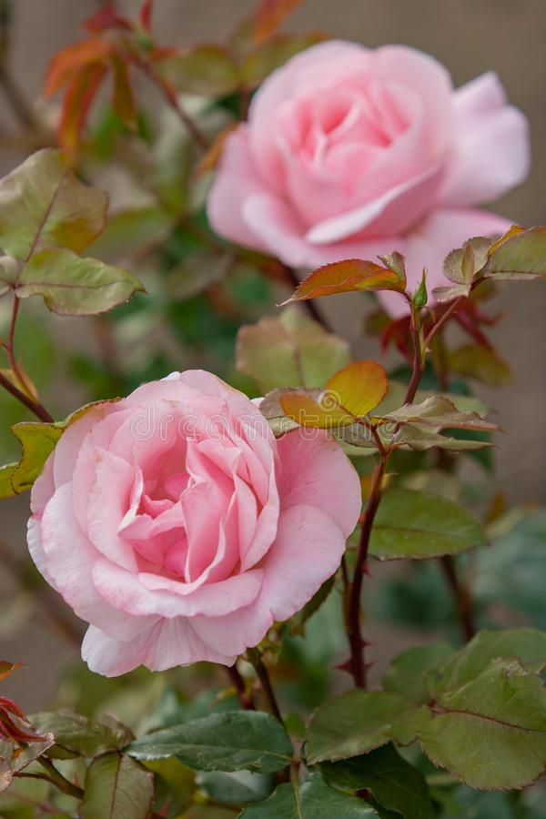 Dos brotes de las rosas rosadas de las flores delicadas en un arbusto Las hojas y los troncos son rojizos imagenes de archivo