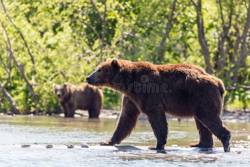 Dos Brown lleva la pesca del beringianus de los arctos del Ursus en el lago Kurile Kamchatka, Rusia imágenes de archivo libres de regalías