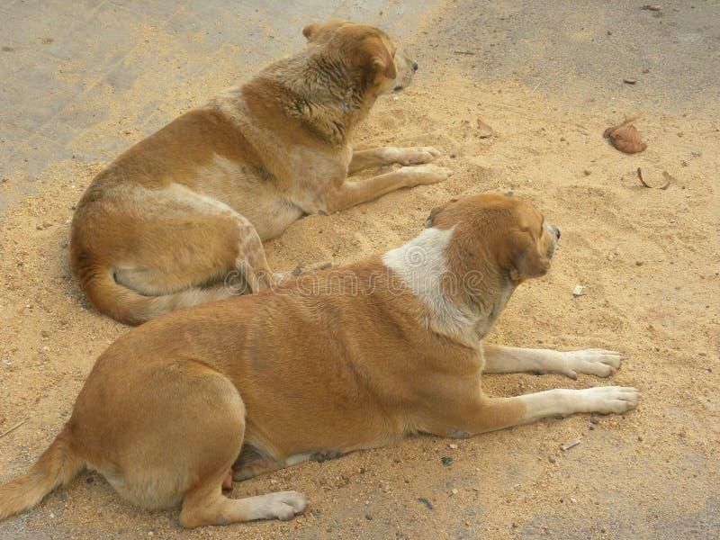 Dos Brown y perros perdidos del color blanco que se sientan en la arena fotos de archivo