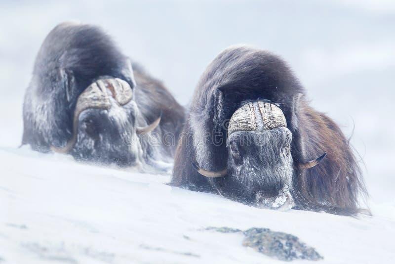 Dos bueyes de almizcle grandes del varón adulto en las montañas durante invierno frío duro condicionan imagenes de archivo