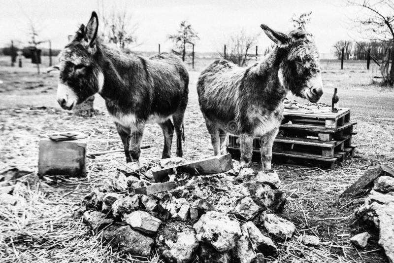 Dos burros fotografía de archivo