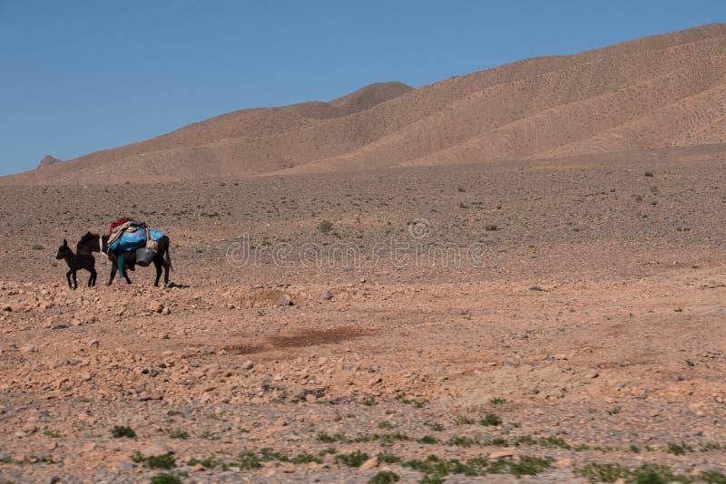 Dos burros cargados a través del desierto cerca del atlas en Marruecos fotografía de archivo libre de regalías