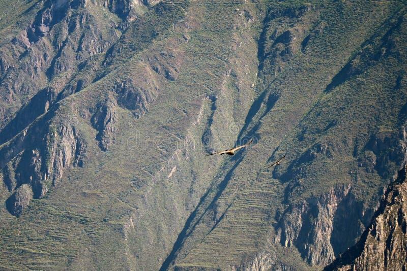 Dos cóndores andinos que vuelan en el barranco de Colca, la montaña de la región de Arequipa, Perú imagen de archivo