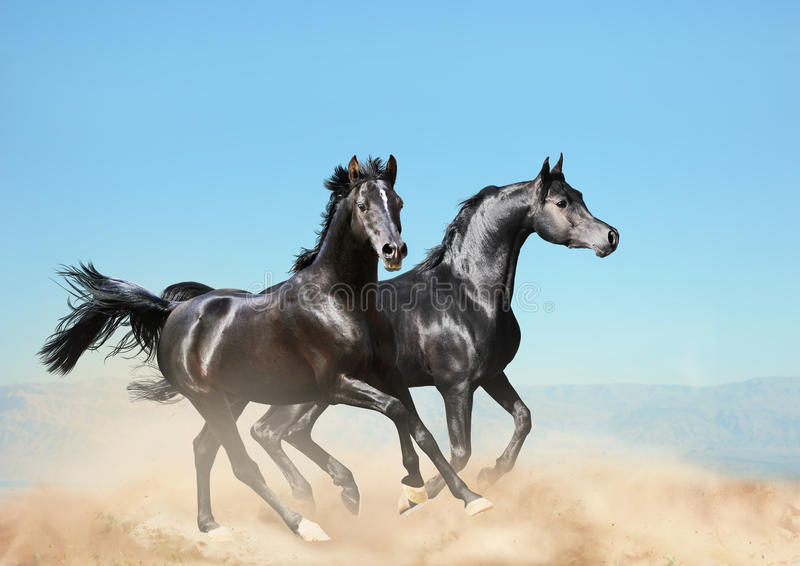 Dos caballos árabes negros que corren en desierto foto de archivo