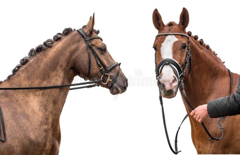 Dos caballos aislados en el fondo blanco fotografía de archivo