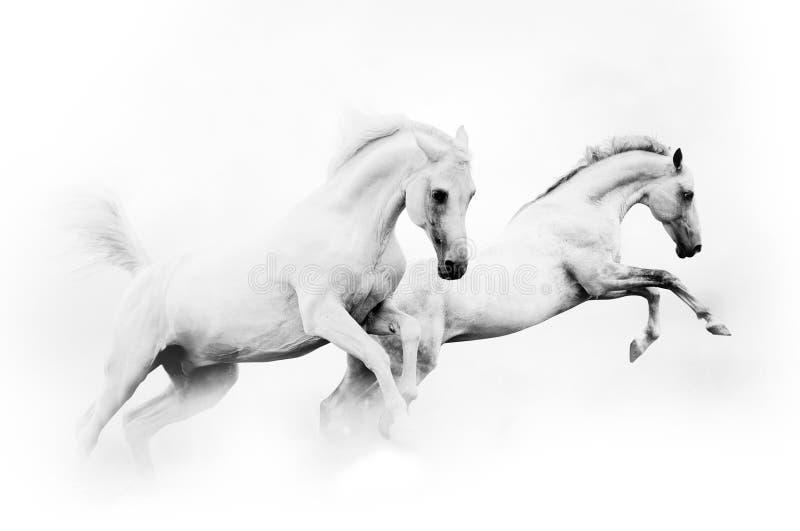Dos caballos blancos potentes fotos de archivo libres de regalías