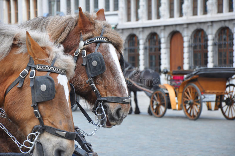 Dos caballos con el vehículo imágenes de archivo libres de regalías