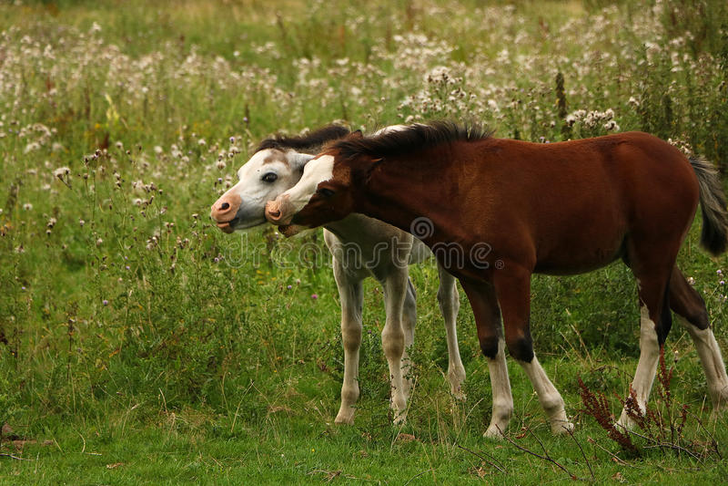 Dos caballos con mucha diversión imagen de archivo libre de regalías
