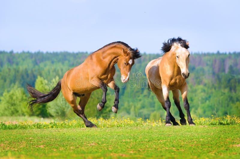 Dos caballos de bahía que juegan en el prado