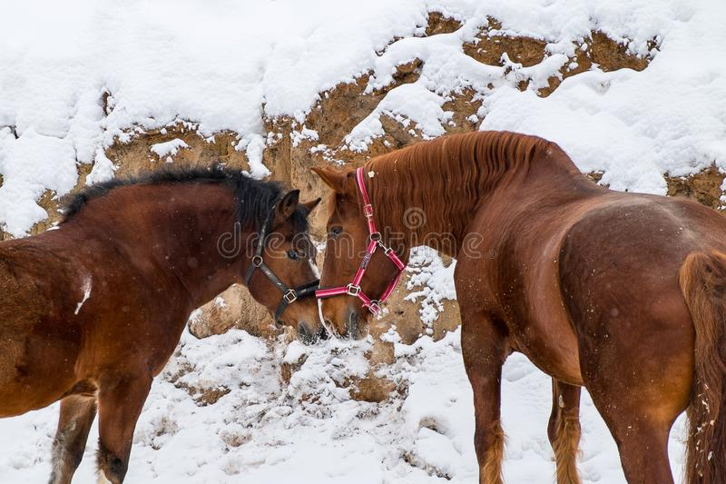 Dos caballos de la castaña en invierno imagen de archivo