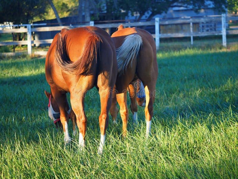 Dos caballos de lado a lado con las colas que se sacuden en unísono de detrás imagen de archivo