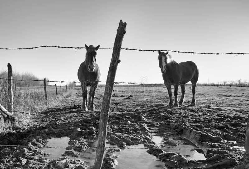 Dos caballos detrás de una cerca imágenes de archivo libres de regalías