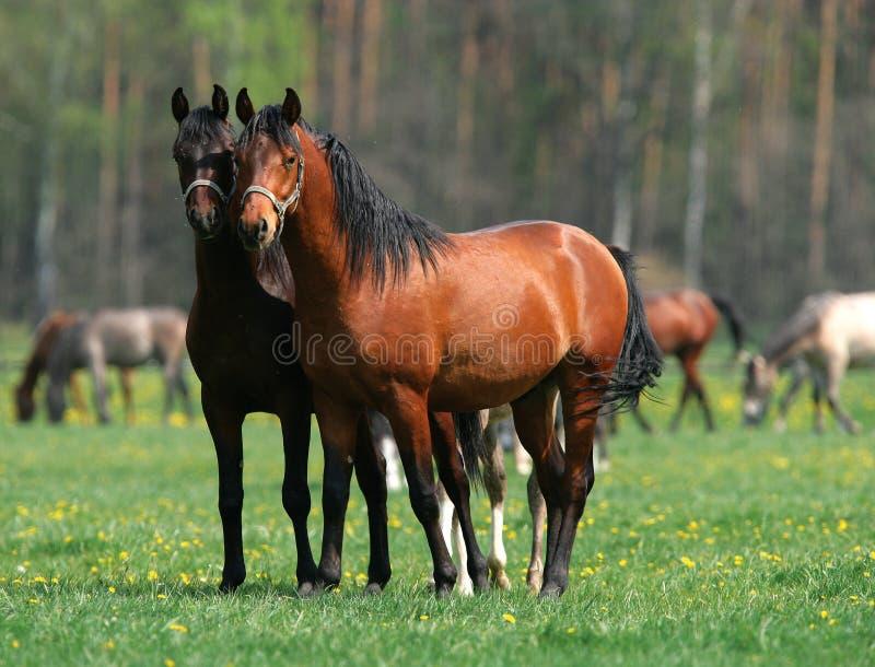 Dos caballos en amor foto de archivo