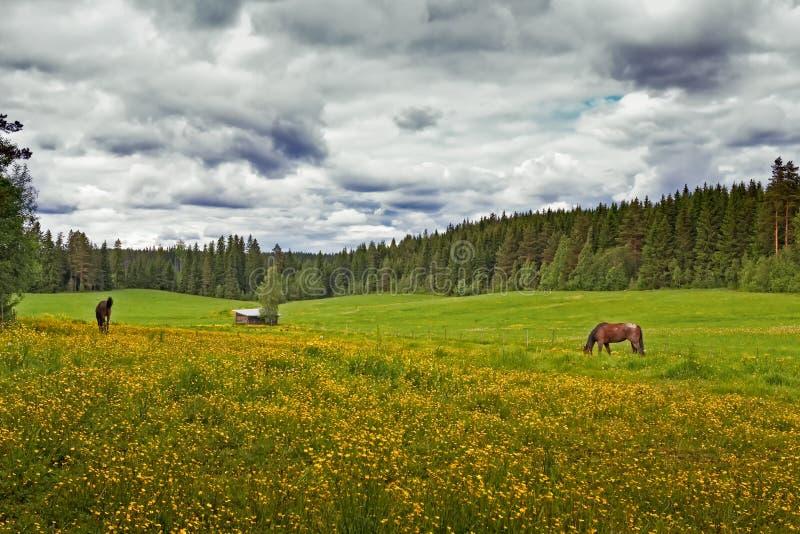 Dos caballos en un campo del verano fotos de archivo