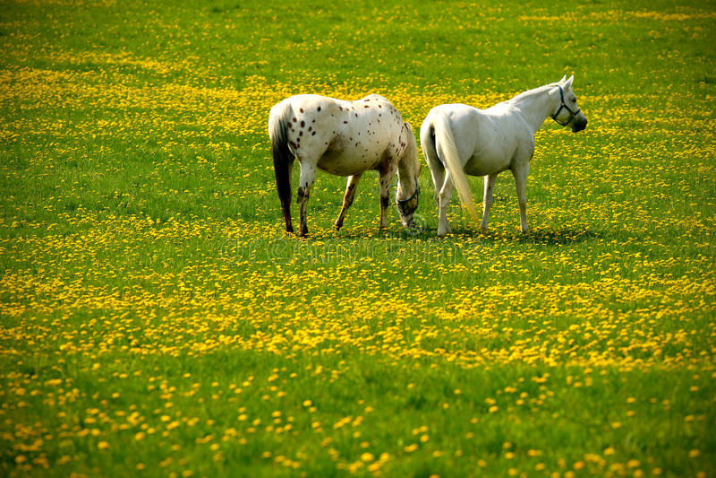 Dos caballos grises en prado de la flor imágenes de archivo libres de regalías