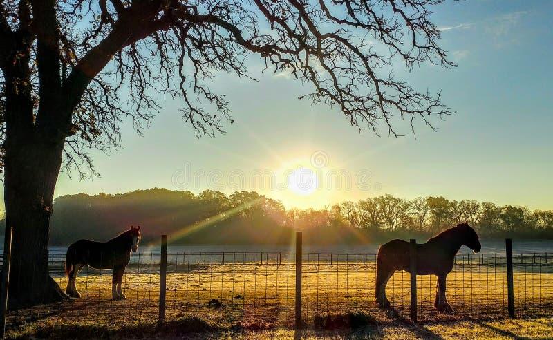 Dos caballos hermosos con salida del sol en granja imagen de archivo