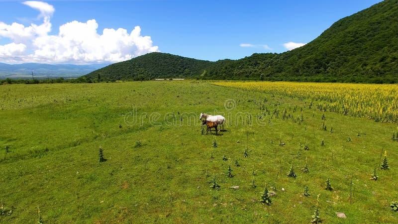 Dos caballos hermosos que pastan el campo, hierba verde fresca, campo el día soleado imagen de archivo