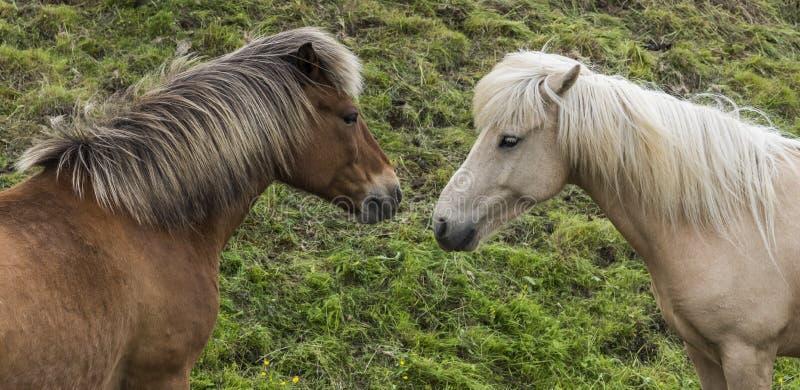 Dos caballos islandeses imagen de archivo libre de regalías