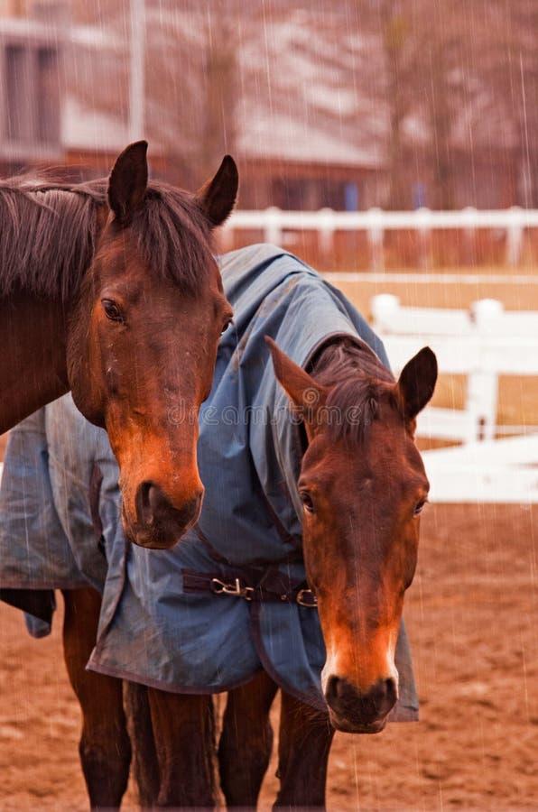 Dos caballos marrones imagen de archivo