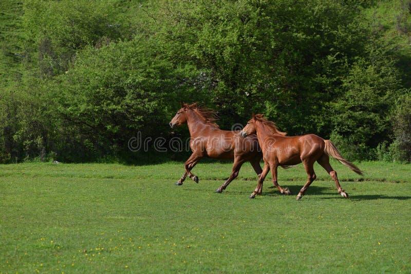 Dos caballos marrones adultos hermosos que corren en un campo de hierba verde imagenes de archivo