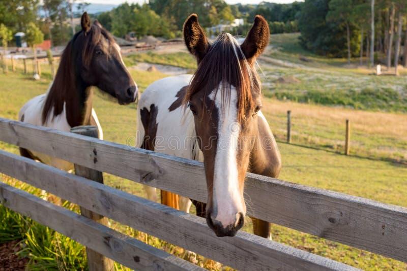 Dos caballos marrones y blancos hermosos vienen a la cerca decir hola la primera cosa por la mañana foto de archivo