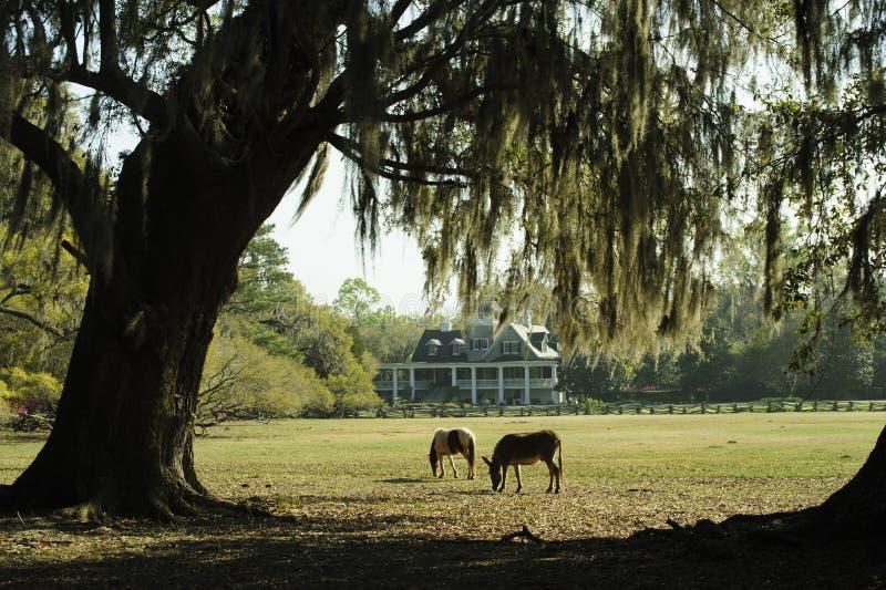 Dos caballos pastan en un jardín meridional de s con Live Oak Trees y las azaleas imagen de archivo