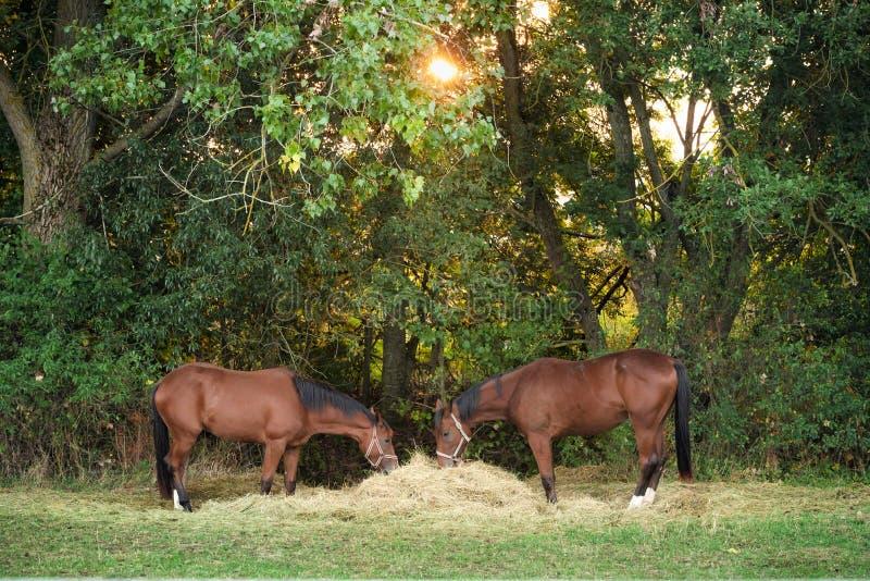 Dos caballos que comen el heno debajo del sol de la mañana fotos de archivo libres de regalías