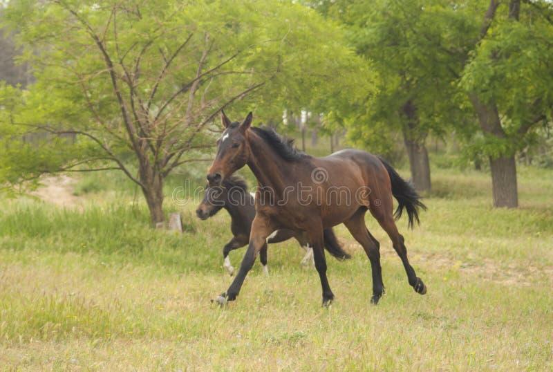 Dos caballos que corren en el bosque imagenes de archivo