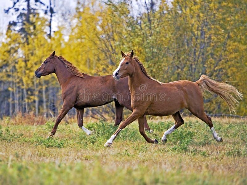 Dos caballos que corren junto imagenes de archivo