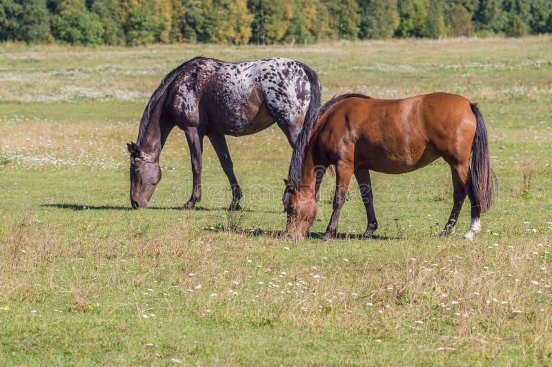 Dos caballos que pastan el día soleado en el campo verde fotografía de archivo