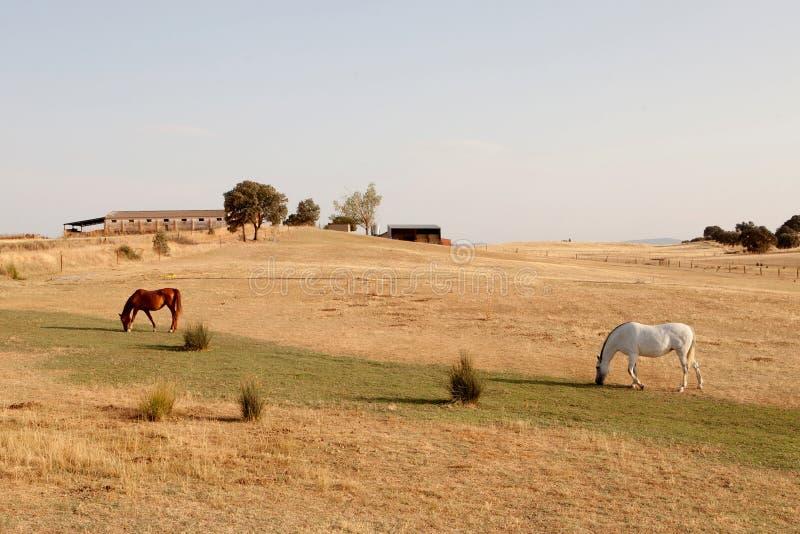Dos caballos que pastan en el prado con la hierba seca imágenes de archivo libres de regalías