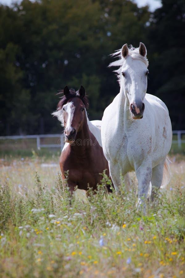 Dos caballos que pastan en el prado de la flor imagen de archivo libre de regalías