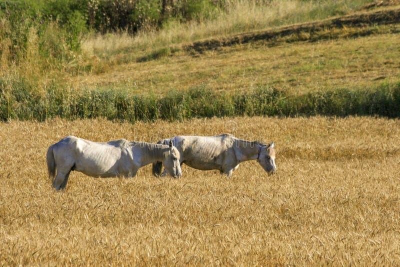 Dos caballos que pastan en prado imágenes de archivo libres de regalías